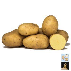 Patata da seme Jaerla